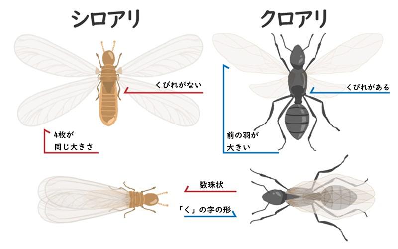 画像でわかる!羽アリの見分け方